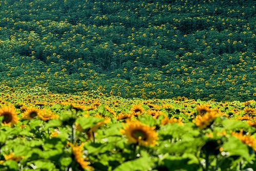 Bavarian Sunflower Jungle
