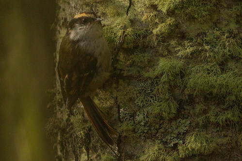 Rajadinho-comum (Aphrastura spinicauda) Thorn-tailed Rayadito