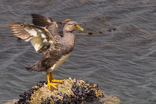 Pato-vapor-de-magalhães (Tachyeres pteneres) Flightless-steamer-duck