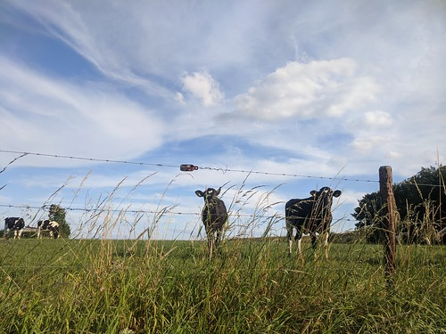 cows, clouds and a fence