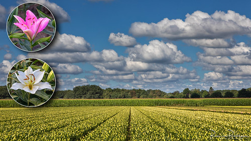 Lilies, Corn and Clouds