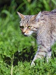 Wildcat walking in the grass