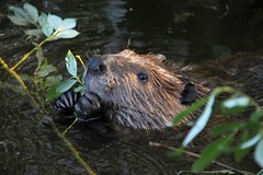 Happy young beaver in wilderness
