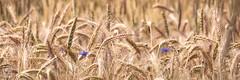 blé de l'été