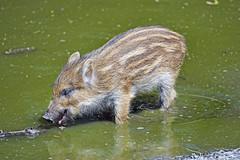 Cute wild boar in the water