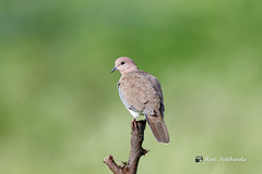 A Laughing Dove on a beautiful perch