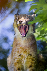 Female lynx yawing