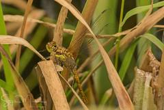 Dragon Fly emergence