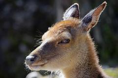 Portrait of a doe