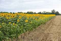 Sunflowers in the field by the road