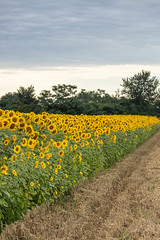 Sunflowers in the field with cloudy sky