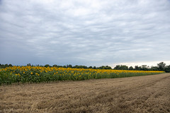 Sunflower fields with beautiful blue sky with clouds