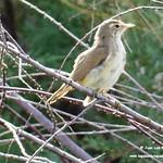 Aves en las lagunas de La Guardia (Toledo) 23-7-2020