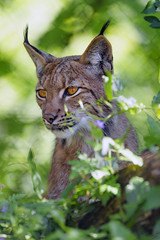 Lynx in the vegetation