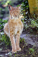 Posing and sitting lynx