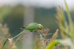 (6/8) - The Parakeets Grab a mouthful and then fly back to the perch