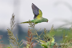 (8/8) - But the Parakeets were disturbed by a Raptor in the sky