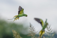(4/8) - Other Parakeets take the cue and follow