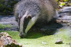 Badger drinking