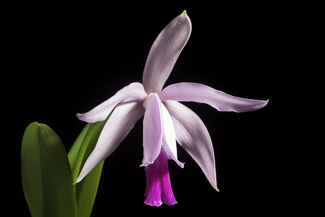 Photo:Cattleya intermedia 'Paraty' Graham ex Hook., Bot. Mag. 55: t. 2851 (1828) By sunoochi