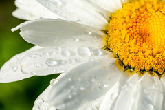 Transparent raindrops on the petals of a chamomile flower close up