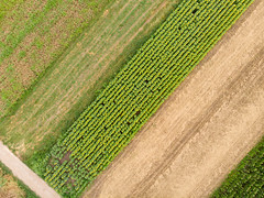 Aerial drone view of Sunflower agriculture fields on a sunny day