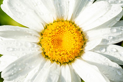 Chamomile flower with white petals in drops of rain, close-up