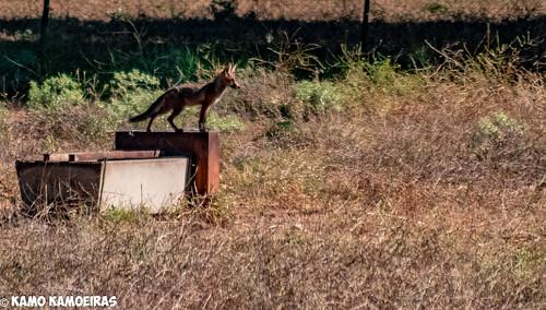 raposo en espino rapado