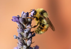 bumble bee, my favourites of the pollinators.
