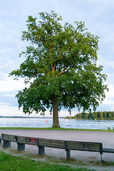 Tall tree in front of the lake at the edge of the park
