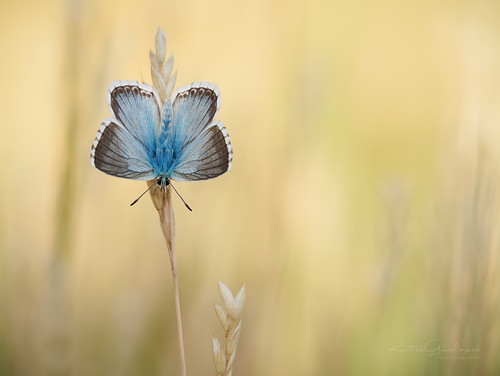 Chalkhill Blue (in golden fields)