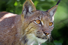 Female lynx very close