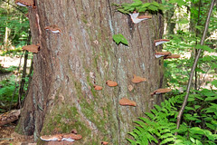 Hemlock Varnish Shelf Ganoderma tsugae