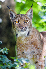 A fine portrait of the female lynx