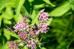 Swamp Milkweed Asclepias incarnata and bumblebee