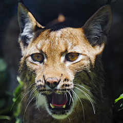 Female lynx with open mouth