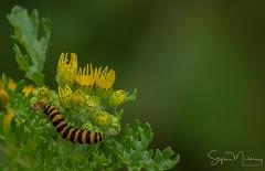 Moths & Caterpillar