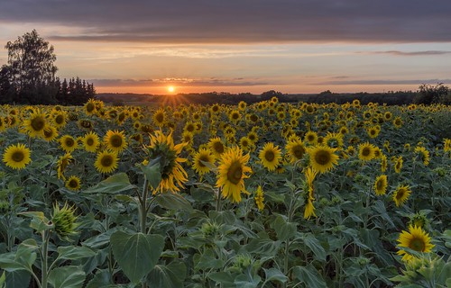 *At sunset with the sunflowers*