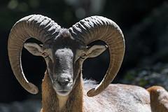 Portrait of a mouflon