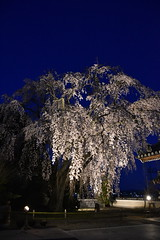 Photo:千光寺のしだれ桜 By 津山市立図書館 Public Library of Tsuyama