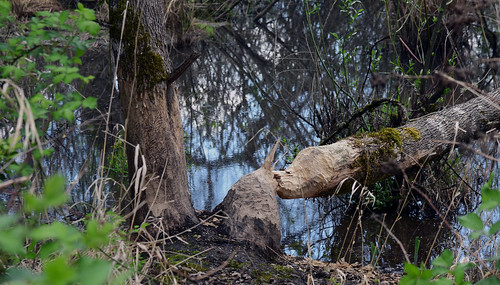 The local beavers have been granted the right to stay - look out trees