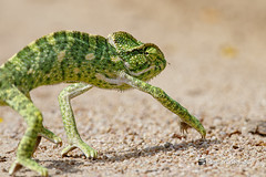 An Indian Chameleon running away