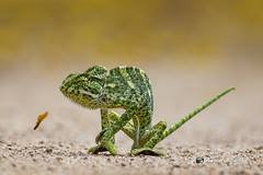 An Indian Chameleon - Trying to run away