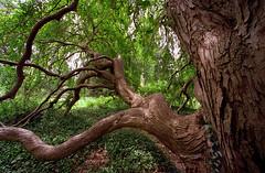 """Cincinnati - Spring Grove Cemetery & Arboretum """"Knarley Tree In Summer"""""""