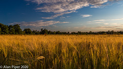 Barley light