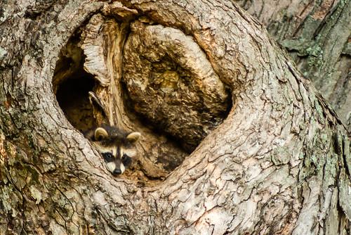 Raccoon in a Hollow Tree