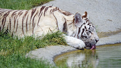 White tigress drinking