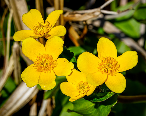 Four yellow Caltha flowers