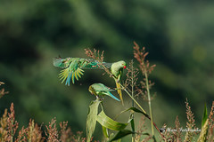 Rose Ringed Parrots Fighting for the ripest grain