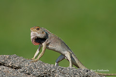 An Oriental Garden Lizard in an Aggressive Posture